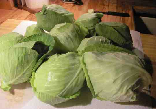 cabbage harvest