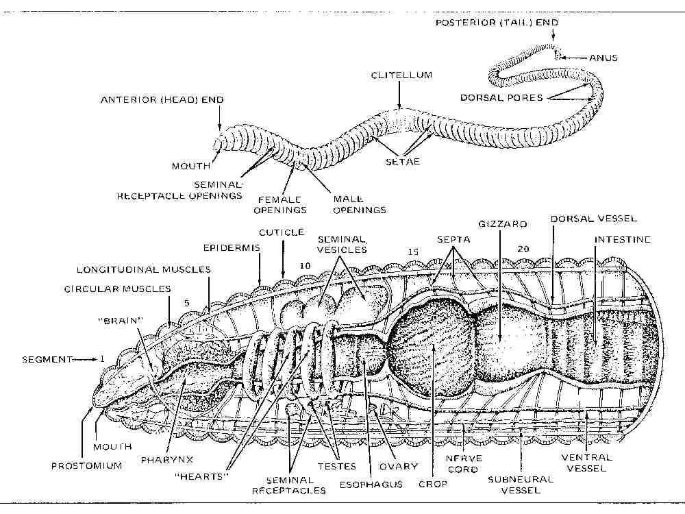 Earthworm Diagram Labeled - Block And Schematic Diagrams •