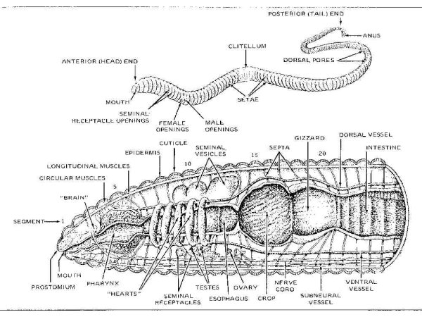 the structure and biological classification of the earthworm Earthworms are hermaphrodites where each earthworm contains both male and female sex organs the male and female sex organs can produce sperm and egg respectively in each earthworm although earthworms are hermaphrodites, most need a mate to reproduce.