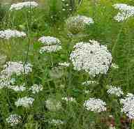 wild carrot or queen anne's lace