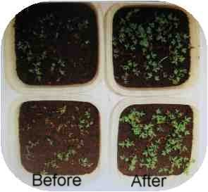 plant growth after worm compost tea clean-up